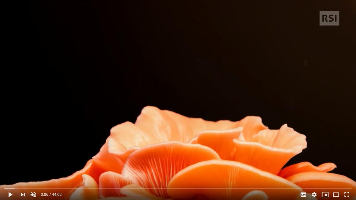Mercoledì a Montecampione parliamo di funghi – Da Youtube: RSI: 🤔 IL REGNO DEI FUNGHI 🤔 & 🤔 L'ESTINZIONE DEI DINOSAURI 🤔🤔🤔 Il giardino di Albert